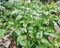 Pimienta de chile Foto de archivo libre de regalías