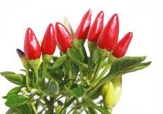 Pimienta de chile Fotografía de archivo libre de regalías