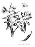 Pimienta de Chile Imagen de archivo