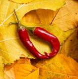 Pimienta de chile en fondo del otoño de las hojas amarillas Temporada de otoño, comida del eco y concepto de la cosecha Imagen de archivo libre de regalías