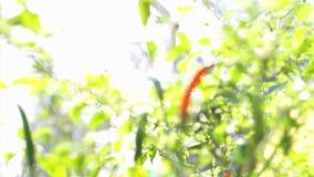 Pimienta de chiles roja picante orgánica video de Pimienta madura para arriba en la planta Contraste rojo en fondo vegetal verde  almacen de video