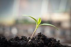 Pimienta de la planta de semillero Fotos de archivo libres de regalías
