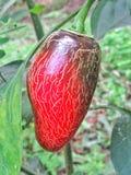 Pimienta del jalapeño del color rojo imagen de archivo
