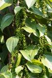 Pimienta negra verde Foto de archivo libre de regalías