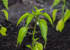 Pimienta que crece en suelo fértil Fotos de archivo libres de regalías