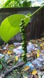 Pimienta verde Fotografía de archivo