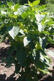 Pimienta verde en el arbusto Imagen de archivo libre de regalías