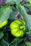 Pimienta verde que crece en el jardín Ejecución de la pimienta en la planta afuera Agricultura Foto de la vertical de la cosecha  fotos de archivo libres de regalías