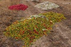 Pimientas de chile candentes maduras Fotografía de archivo