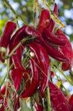 Pimientas de chile rojo en una cuerda Fotos de archivo libres de regalías