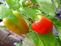 Pimientas de chile rojo muy fuertes, planta del chile Foto de archivo libre de regalías