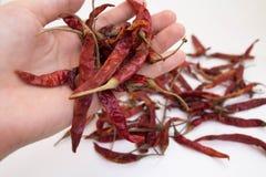 Pimientas de chile secadas tenencia de la mano Fotografía de archivo libre de regalías