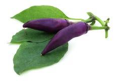 Pimientas de chile violetas con las hojas verdes Imagenes de archivo