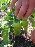 Pimientas de la cosecha y pimientas verdes del handstwo del jardinero imagenes de archivo
