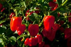 Pimientas del habanero Foto de archivo libre de regalías