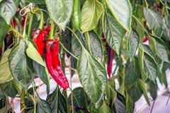 Pimientas rojas dulces que crecen en un invernadero holandés del cierre Imagenes de archivo