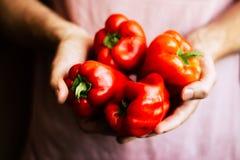 Pimientas rojas orgánicas frescas en manos del ` s del hombre Fotografía de archivo