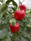 Pimientas rojas que crecen en el jardín Fotografía de archivo libre de regalías