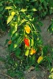 Pimiento rojo y amarillo en árbol Imagenes de archivo