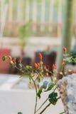 Pimientos picantes en el arbusto Fotografía de archivo libre de regalías