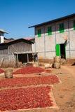 Pimientos picantes que se secan, Myanmar foto de archivo