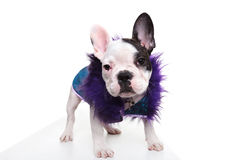 Pimp looking dressed french bulldog puppy standing Stock Photos