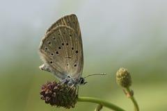 Pimpernelblauwtje, Schaars Groot Blauw, Phengaris-teleius stock afbeelding