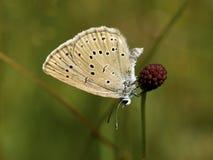 Pimpernelblauwtje, Schaars Groot Blauw, Phengaris-teleius stock afbeeldingen