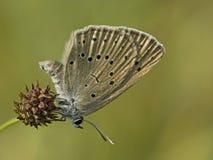 Pimpernelblauwtje, Schaars Groot Blauw, Phengaris-teleius royalty-vrije stock afbeelding