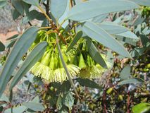 Pimpin Mallee in the desert. A Flowering pimpin mallee (Eucalyptus pimpiniana) shrub in the desert of Australia Stock Image
