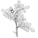 pimpinelifolia Rosa Στοκ Φωτογραφίες