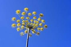 pimpinella anisum γλυκάνισου Στοκ Εικόνα