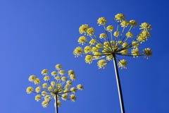 pimpinella anisum γλυκάνισου Στοκ Φωτογραφίες