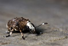 Pimpled bug Royalty Free Stock Photo
