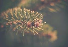 Pin树新芽 图库摄影