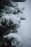 Pin à feuilles persistantes de Noël couvert de neige fraîche Photos stock