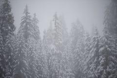 Pin à feuilles persistantes de Noël couvert de neige fraîche Images libres de droits