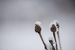 Pin à feuilles persistantes de Noël couvert de neige fraîche Photo libre de droits