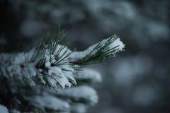 Pin à feuilles persistantes de Noël couvert de neige fraîche Images stock