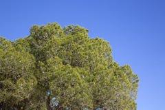 Pin à la plage de crique de Cala Bassa ; Ibiza Images libres de droits