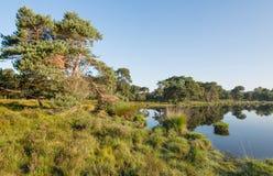 Pin écossais aux banques d'un étang naturel Photographie stock