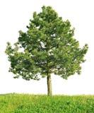 Pin écossais (sylvestris de pinus) image libre de droits