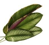 Pin-нашивка Calathea ornata Calathea выходит, тропическая изолированная листва на белую предпосылку стоковые фотографии rf