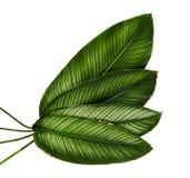 Pin-нашивка Calathea ornata Calathea выходит, тропическая изолированная листва на белую предпосылку стоковая фотография