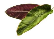 Pin-нашивка Calathea ornata Calathea выходит, тропическая изолированная листва на белую предпосылку Стоковое Фото