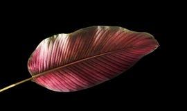 Pin-нашивка Calathea ornata Calathea выходит, тропическая изолированная листва на черную предпосылку стоковое изображение rf