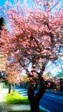 Pin цветет дерево Стоковое Фото