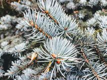 Pin树 免版税图库摄影