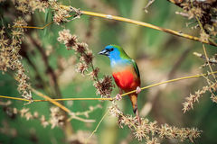 Pin-angebundenes Parrotfinch Stockfoto