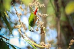 Pin-angebundenes Parrotfinch Stockfotografie